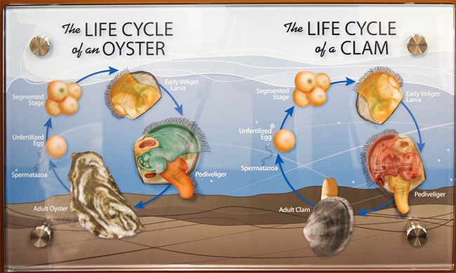 The Life Cycles of Oysters and Clams